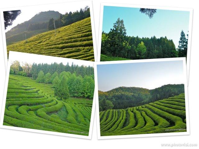 green tea fields, Boseong, tea planation